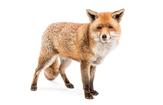Fox Problem