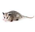 Opossum Problem