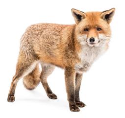 Fox Problem in Maryland