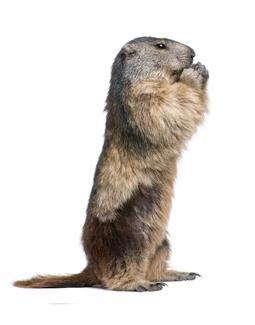 Groundhog Control Needed