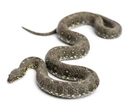 Snake slithering