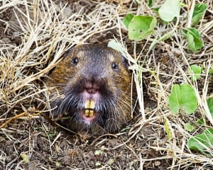Why Groundhogs are a Danger to Your Home Foundation