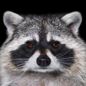 What You Need To Know About Racoons