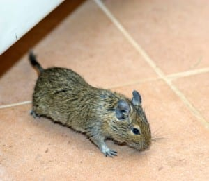 Why Do I Keep Having A Mouse Problem In My Home?