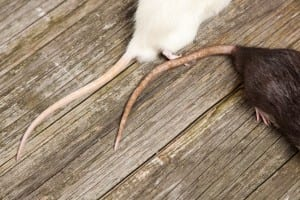 How to Prevent Rats from Residing in Your Yard