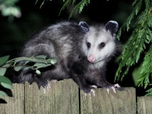 Fun Facts Opossums