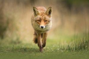 Foxes dangerous