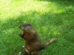 Keep Groundhogs Away