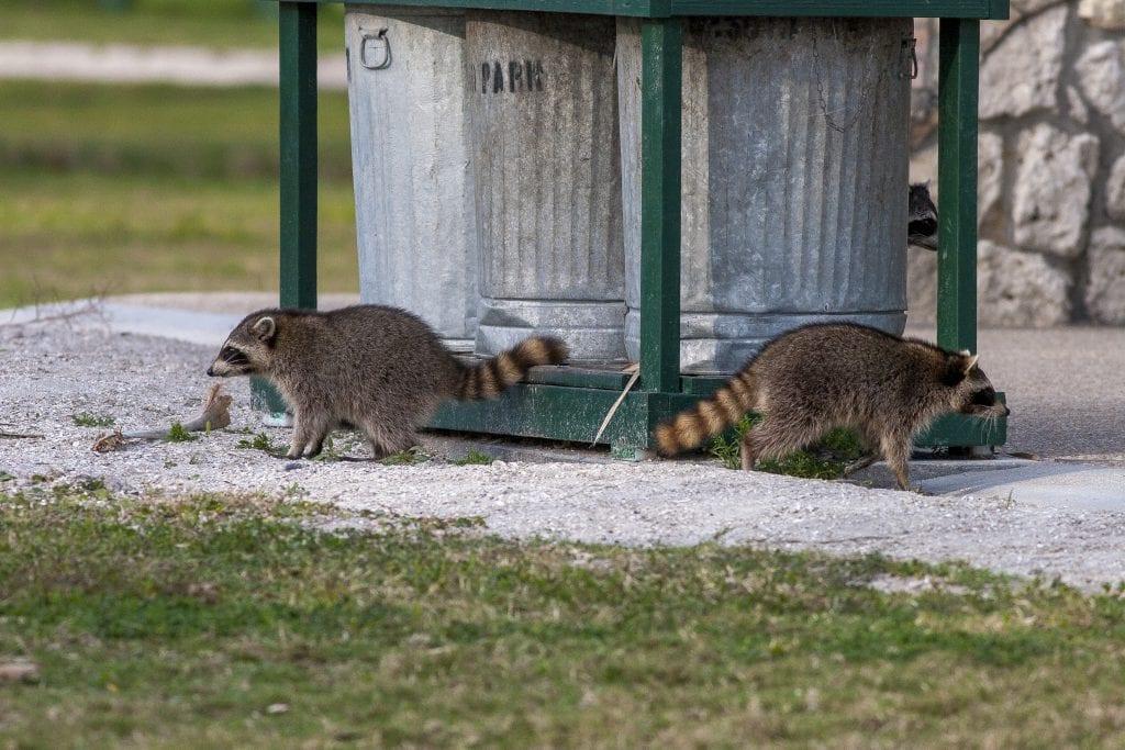 Raccoon Control
