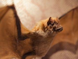 Blood Sucking Bats Vampire