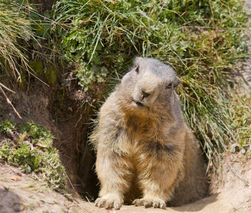 fun facts groundhogs