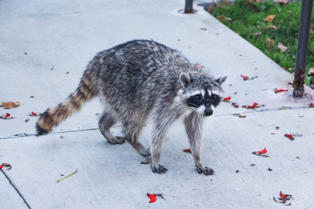 raccoon home