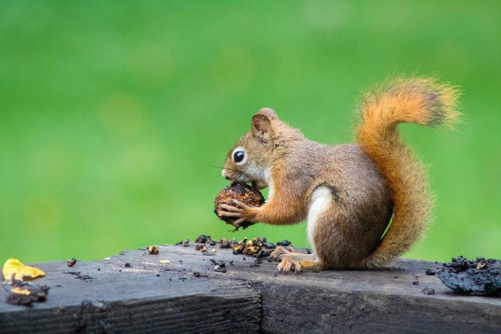 squirrel species