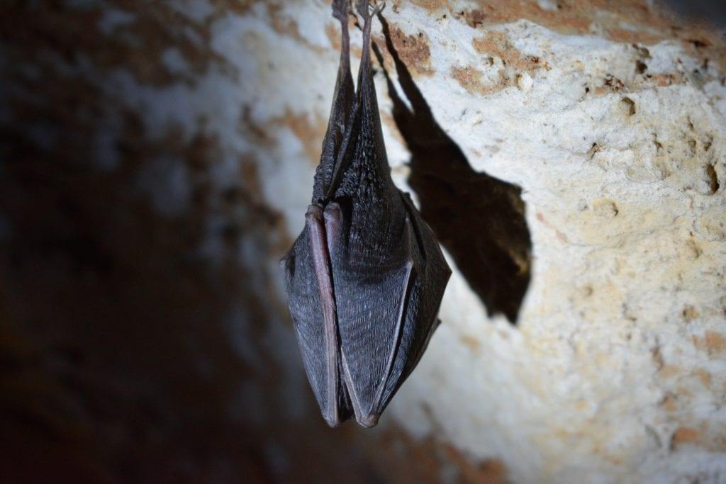 bats attic