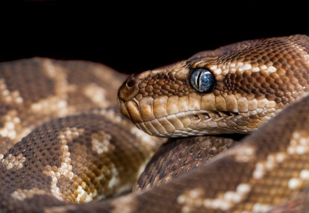 snakes winter