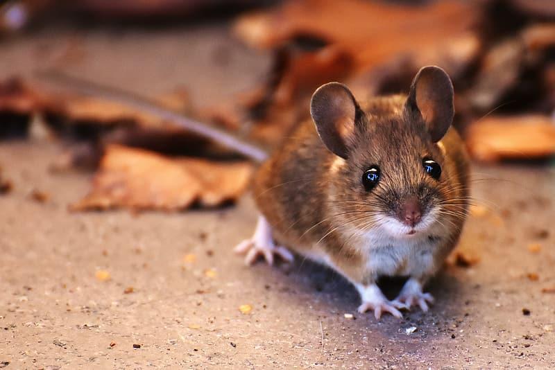 fun facts mice