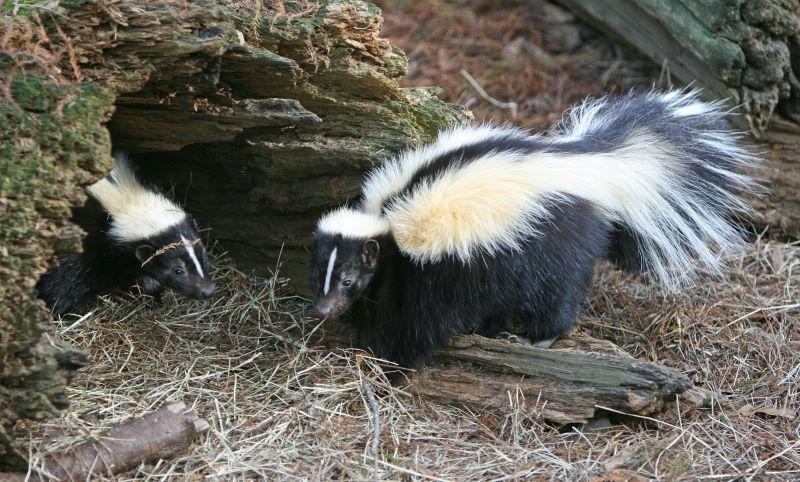 keep skunks away