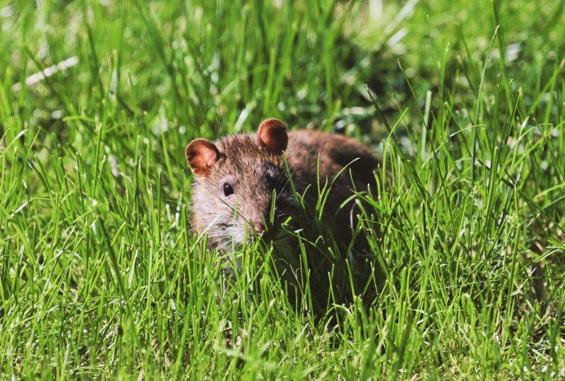 mice problem