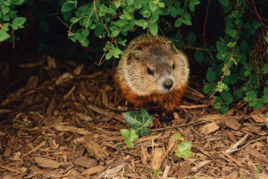 Can A GroundHog Really Damage My Home?