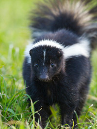 What To Do If You Are Sprayed By A Skunk