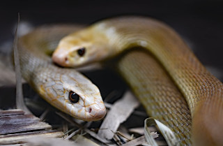 Venomous Snakes in Maryland