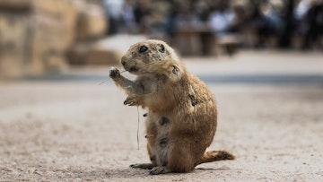 groundhogs