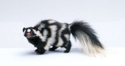 Fun Facts About Skunks