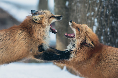 All About Foxes!