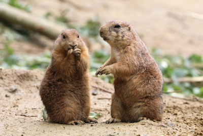 All About Groundhogs